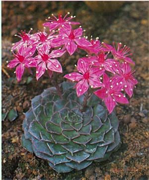 graptopetalum bellum cactusi sacculents piante grasse