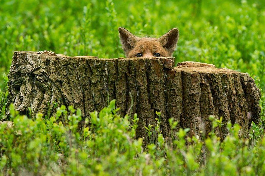 White Wolf: Estas 15 fotos te hará caer en amor con los zorros