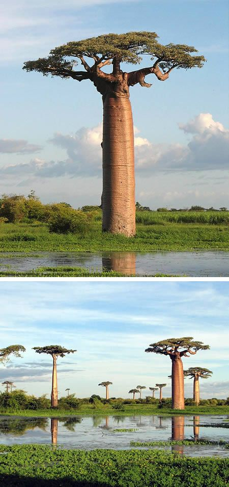 Baobab is the common name of a genus (Adansonia) containing eight species of trees, native to Madagascar, mainland Africa and Australia. Also known as the Bottle Tree, not only do they look like bottles, but the trees typically store around 300 liters of water! They often live over 500 years.