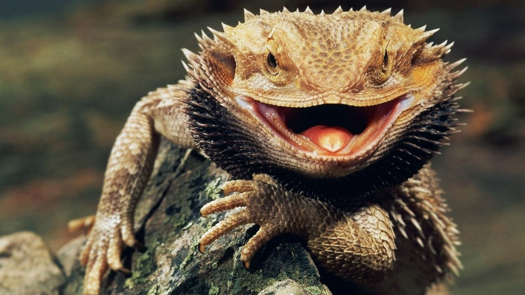 Bearded Dragon Wallpapers Wallpaper Cave Bearded Dragon Habitat Bearded Dragon Care Pet Lizards