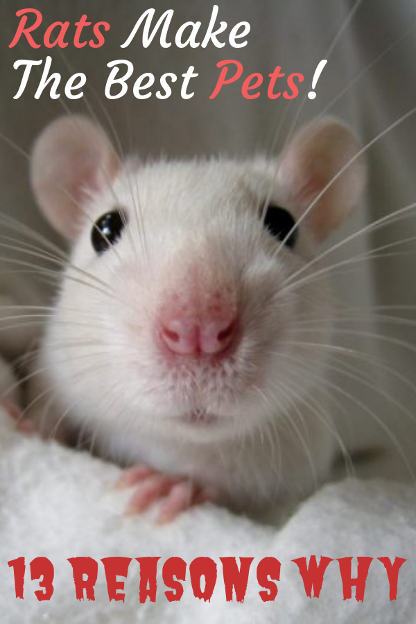 Why Rats Make The Best Pets Best Small Pets Cute Rats Pet Rat Cages