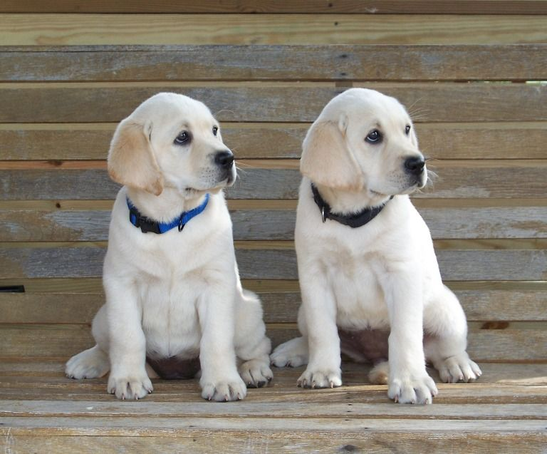 Home Page Lincoln Park Labs Breeding And Selling White