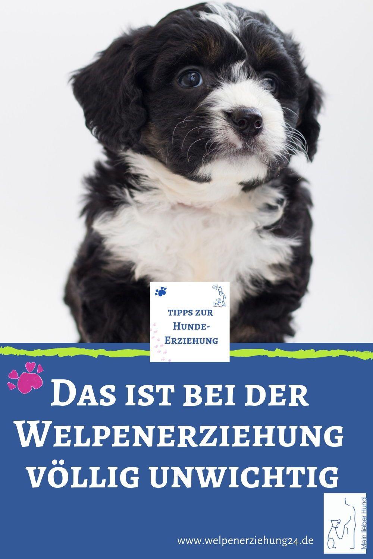 Was Ist Das Wichtigste Bei Der Welpenerziehung Welpen Hunde Welpen Erziehung Welpenerziehung