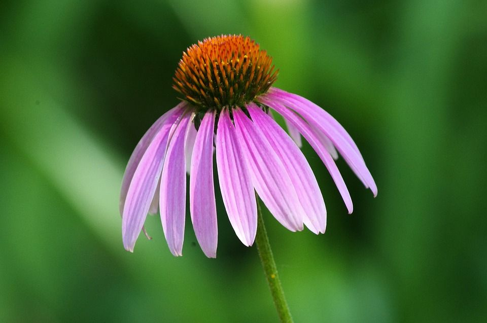 Free Image On Pixabay Purple Coneflower Purple Summer Purple Image Royalty Free Images