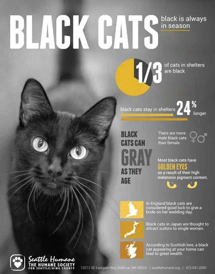 Black Cat Fun Facts Black Cat Appreciation Day Black Cat Cats