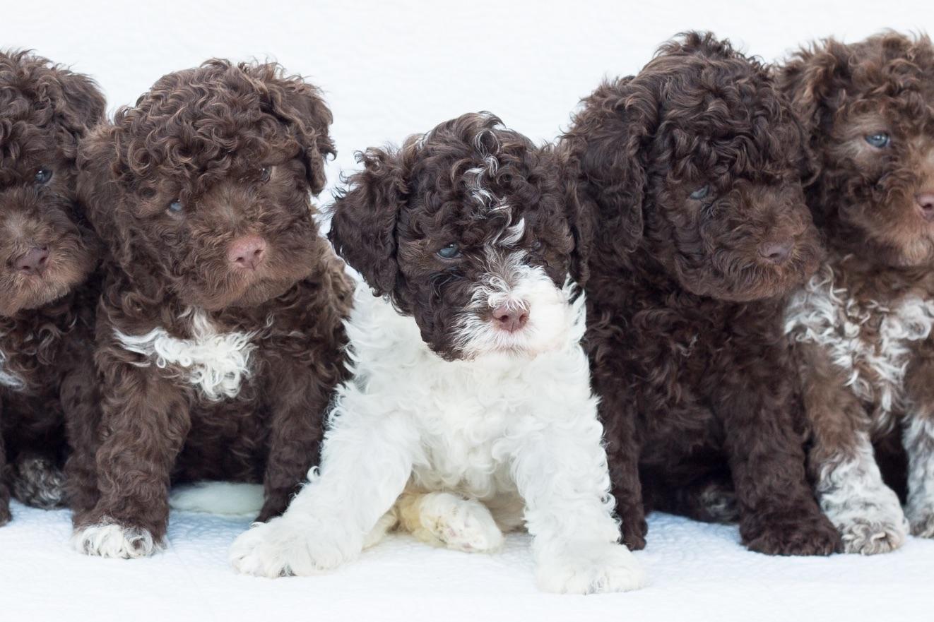 Perfetto Lagotto Has Lagotto Romagnolo Puppies For Sale In