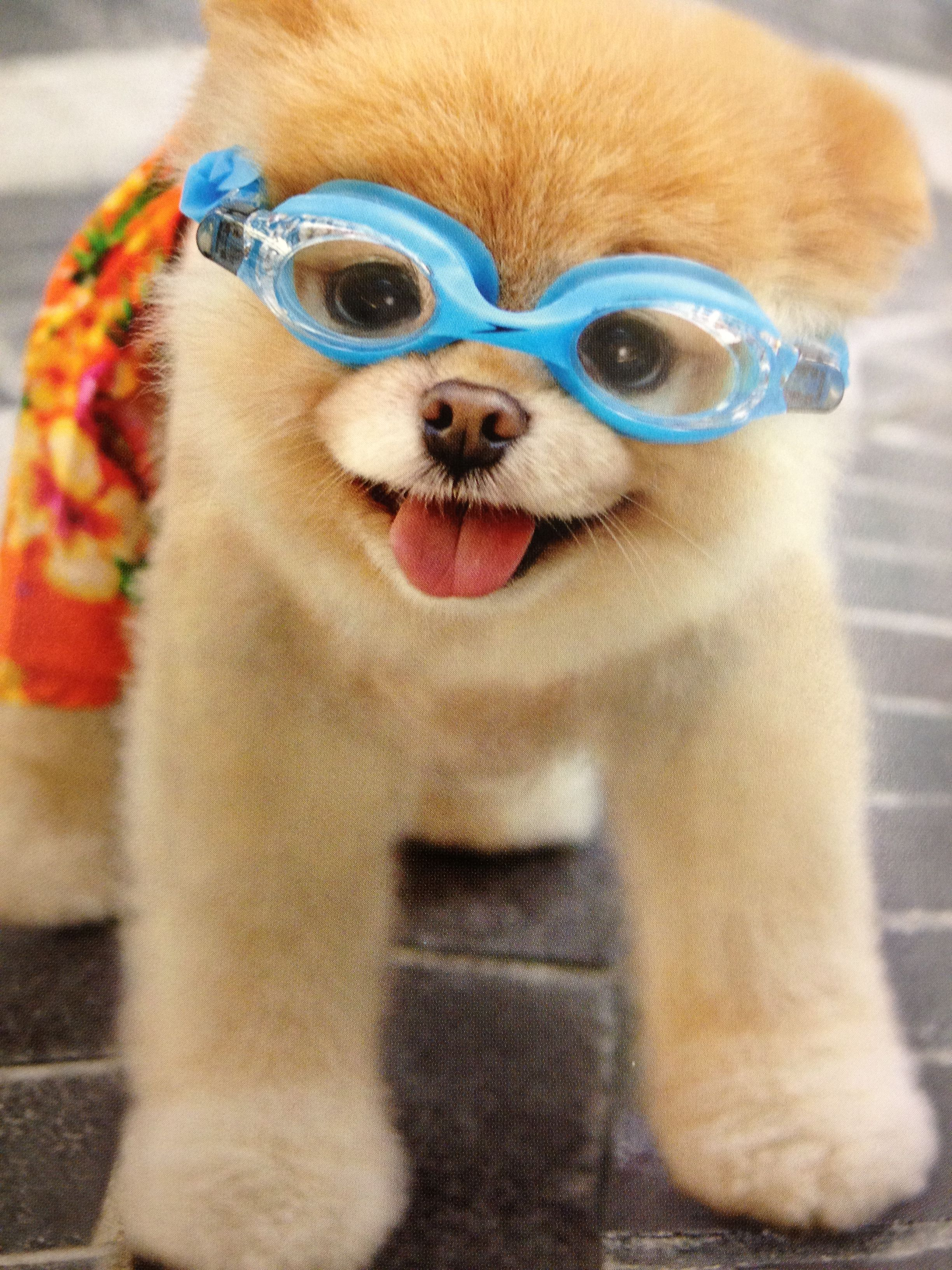 Boo The Cutest Dog In The World To Go For A Swim