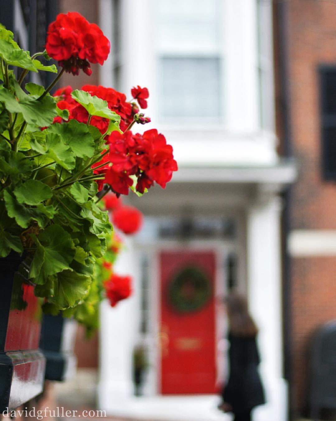 Nothing says Christmas like geraniums in bloom | Geraniums/Geranios ...