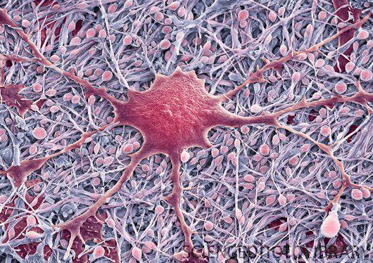 Glial cells SEM of a glial cell (center) Glial cells are nervous
