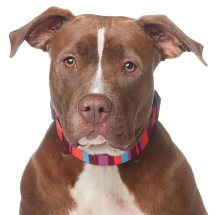 American Staffordshire Terrier dog for Adoption in Los