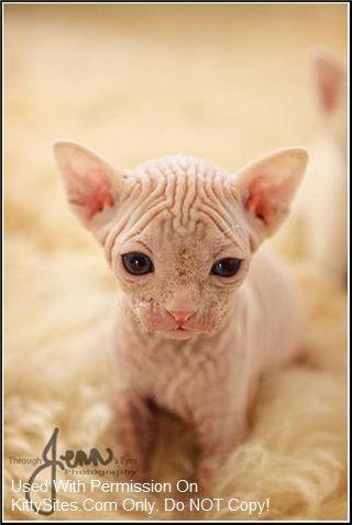 Cat And Kitten Cat Breeders California Website Listings At Kittysites Com Cat Breeder Sphynx Cat Cats And Kittens