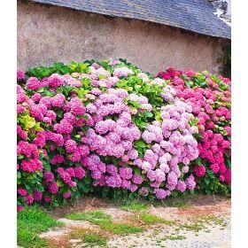 freiland hortensien hecke pink ros 3 pflanzen. Black Bedroom Furniture Sets. Home Design Ideas