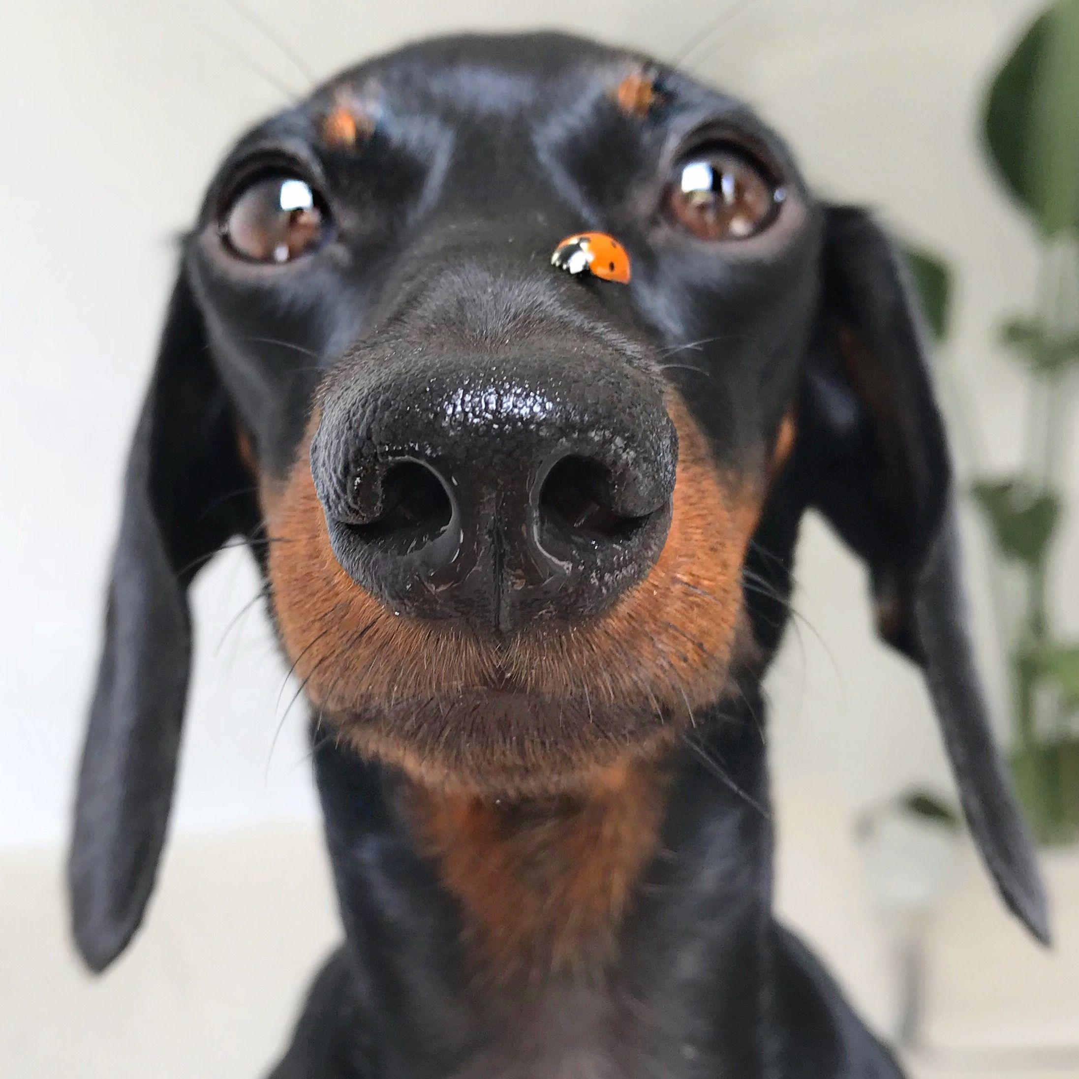 Cute Dachshund With A Ladybug On Its Nose Dachshund Weenie