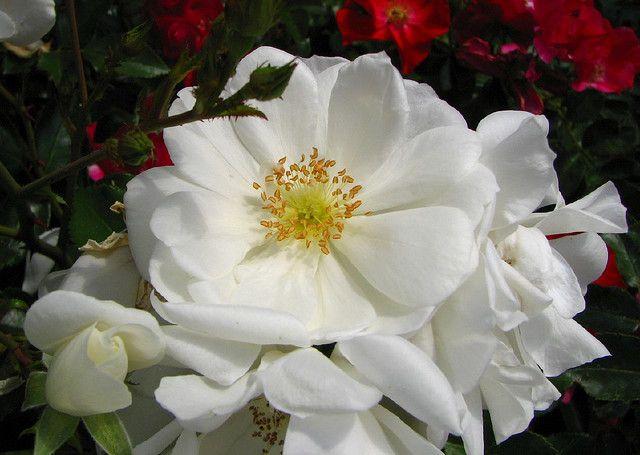 Flower carpet rose more info ideas for new house flower carpet rose more info mightylinksfo