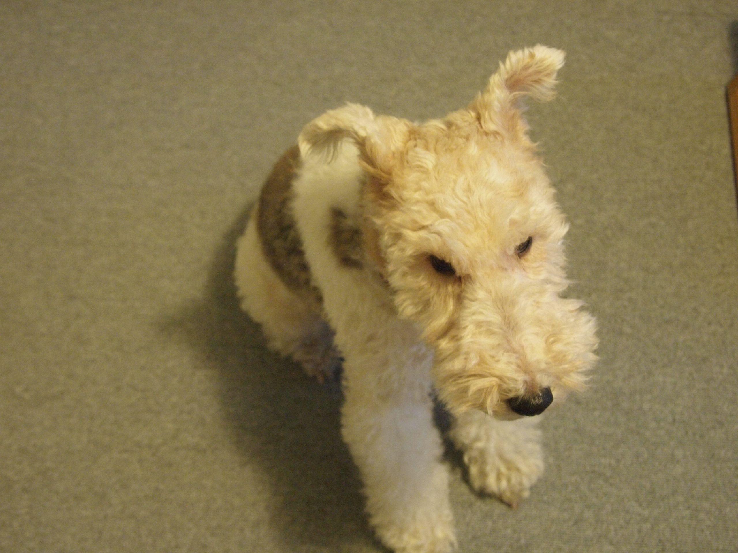 Wire Fox Terrier | CANI* | Pinterest | Terrier, Füchse und Fox Terrier