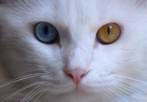 Different Colored Eyes The Odd Eyed Cats Cats With Two Differently Colored Eyes Pool White Cats Different Colored Eyes Cute Cats