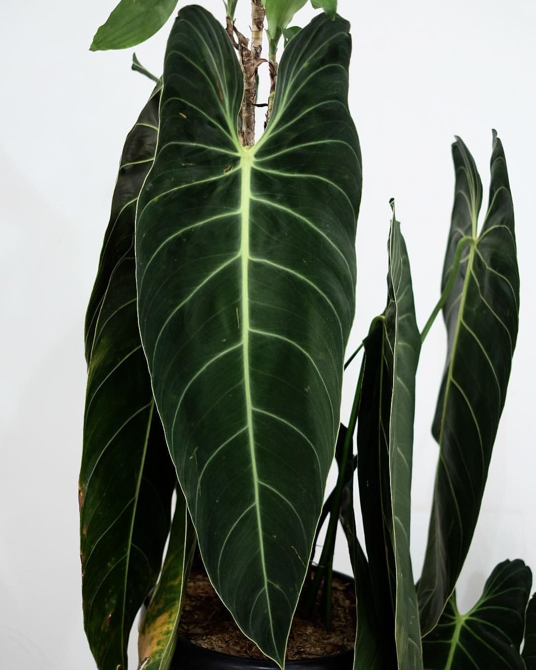 Stunning Long Leaves Of Philodendron Melanochrysum Ready Stock