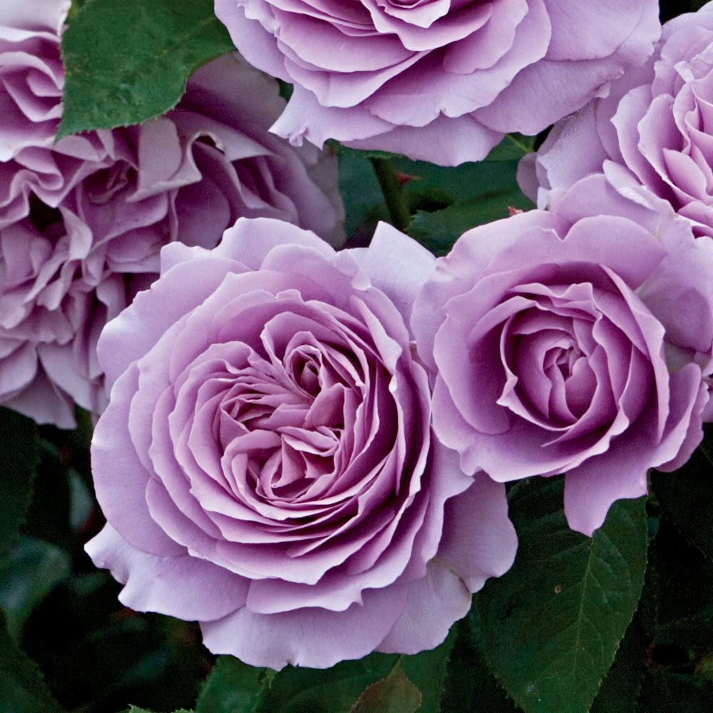 Love Garden Roses: Love Song ™ Rose Does Not Disappoint With Mounds Of Old