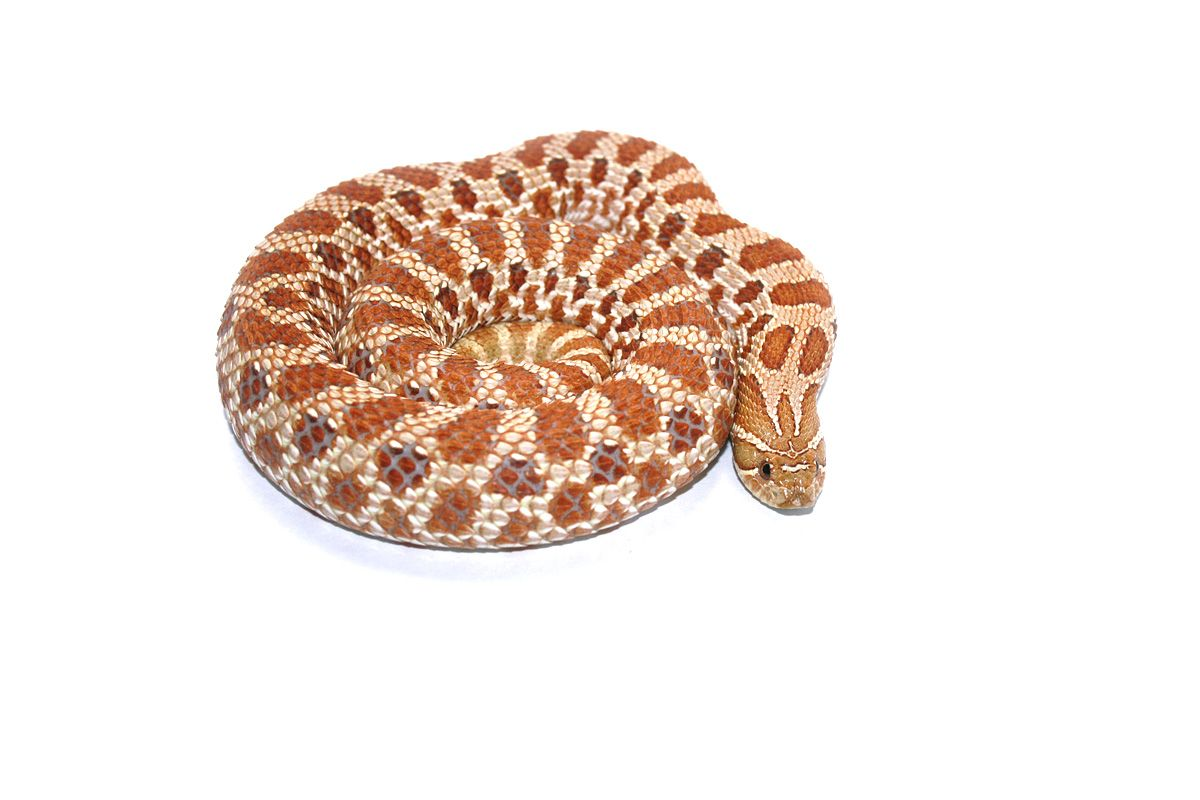 Western Hognose Snake Heterodon Nasicus Dutch Hypo Special Line Of Hypo First Bred By Michel Klumpers Hognose Snake Western Hognose Snake Snake Lovers