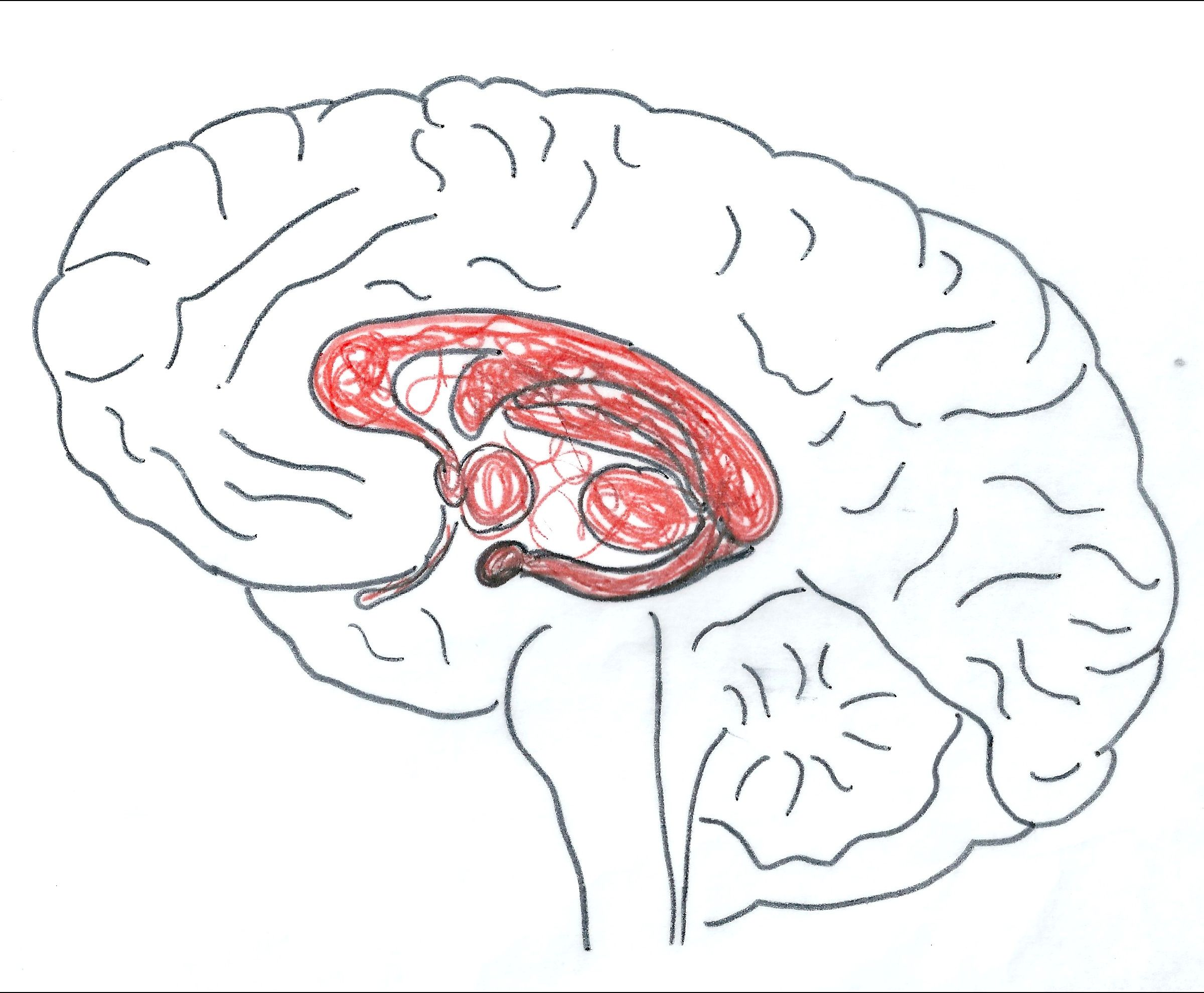 Pic Showing The Limbic System And Cortex Used In A Worksheet With An Activity About The