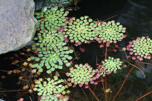 Ludwigia Sediodes Mosaic Plant Pond Plants Plants Aquatic Plants