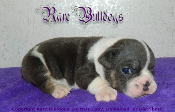 Available Soon Akc Blue Tri Quad English Bulldog Boy Meet Binky