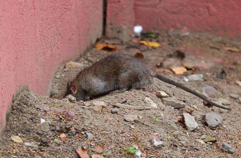 Wild City Rat Near A Hole Under A Pink Concrete Wall Ad Rat