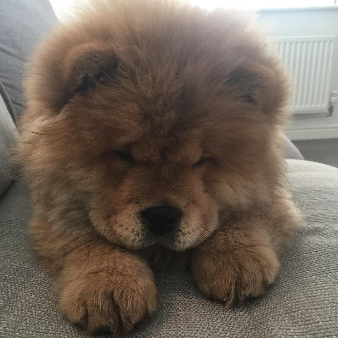 Likes Comments Duke And Duchess Chow - This instagram chow chow looks like a fluffy potato and its so cute it doesnt even look real