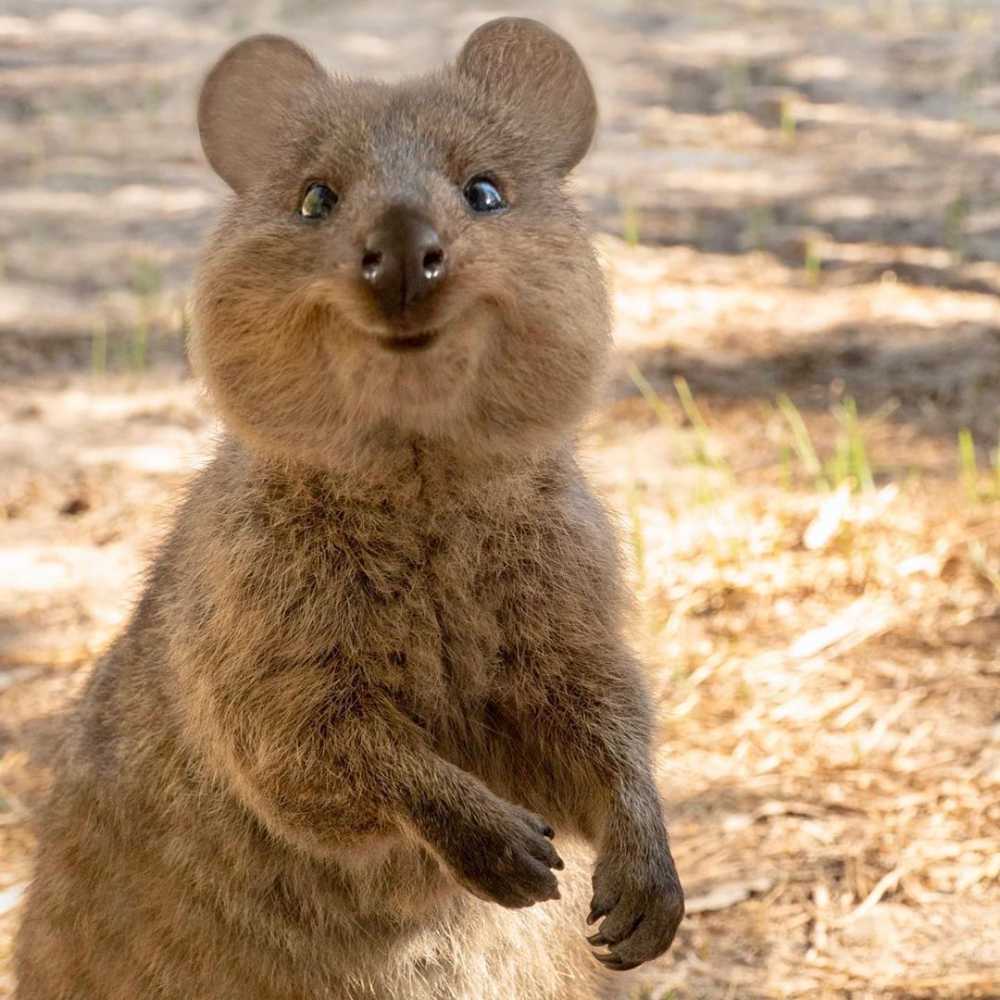 Quokkas As Pets Google Search In 2020 Cute Animals Cute Funny Animals Animals Beautiful