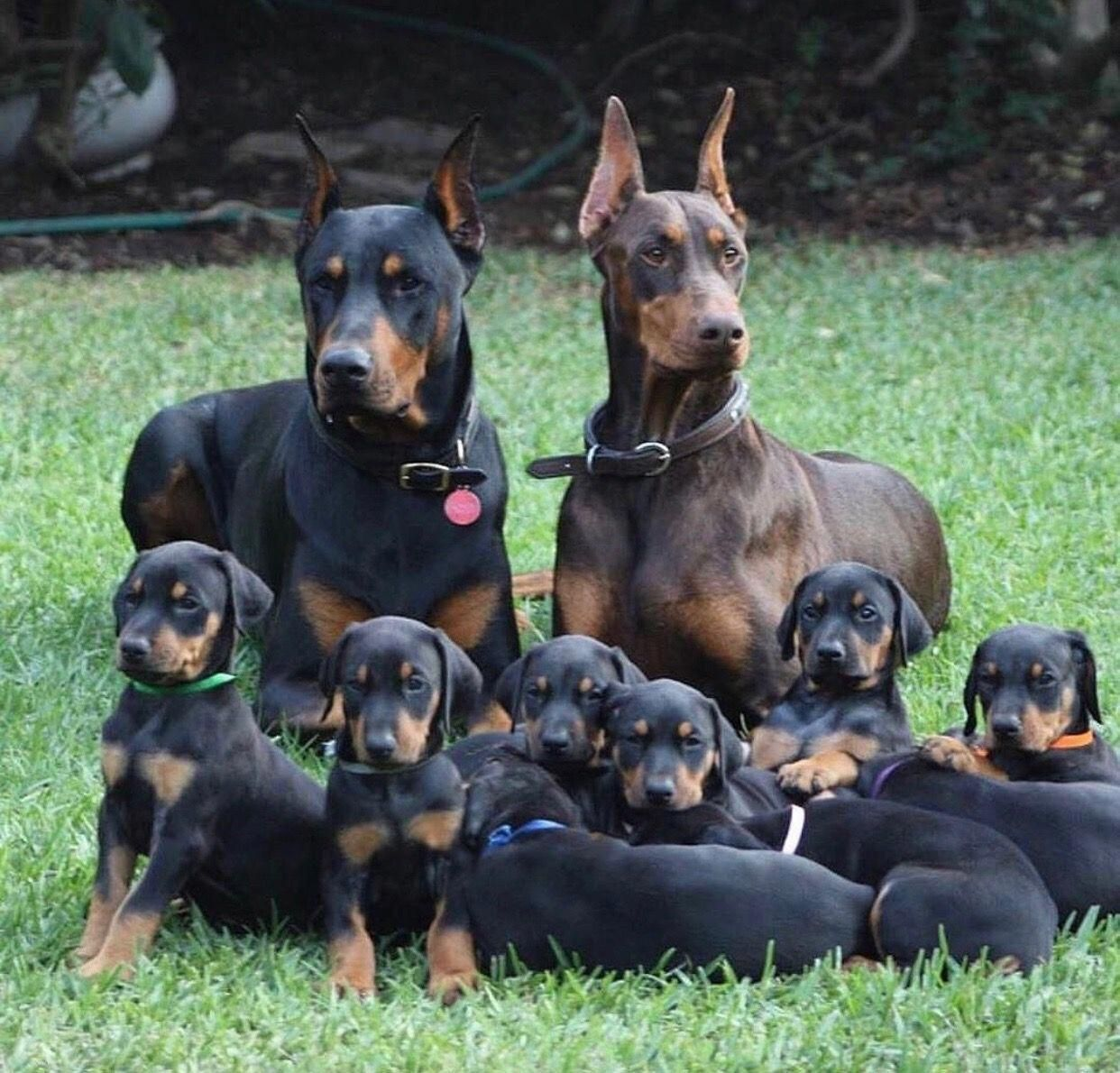 More About The Loyal Doberman Pinscher Dogs Temperament
