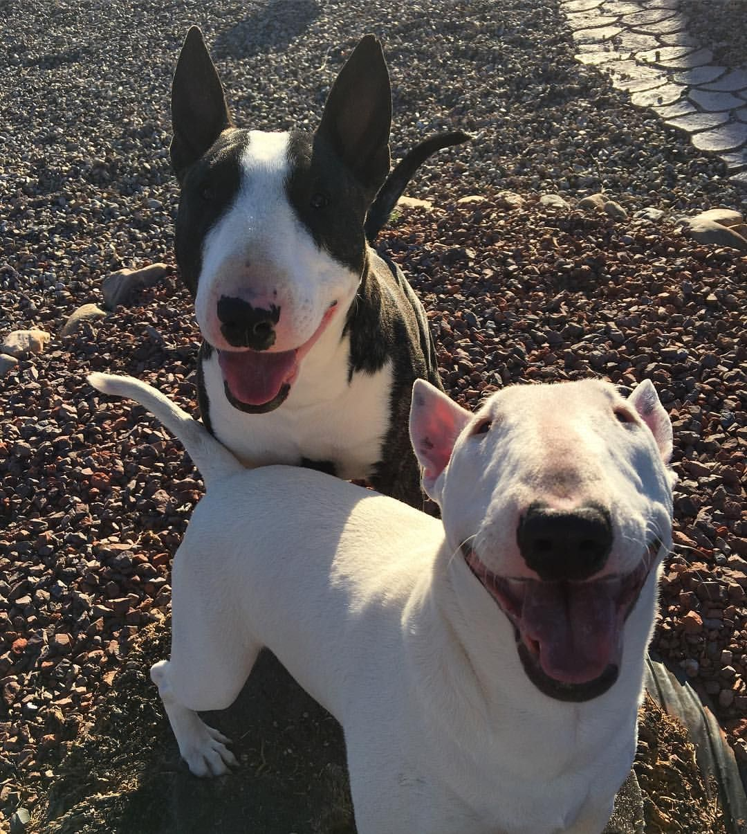English Bull Terriers English Bull Terriers Pitbull