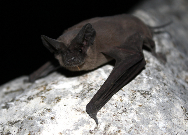 Bats Are Helpful Insect Eaters And Providers Of Tequila Not Just Halloween Decorations But Their Connecti Attic Insulation Getting Rid Of Bats Attic Flooring