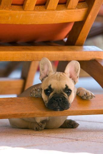 Frenchie Love Bord French Bulldog Dogs Cute Dogs