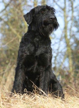 Riesenschnauzer Hund Wesen Erziehung Und Eigenschaften Riesenschnauzer Schnauzer Schnauzer Hunde
