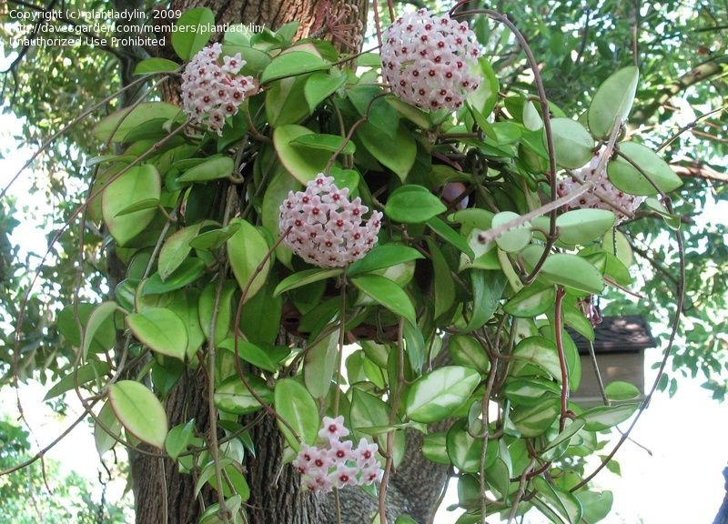 Hoya carnosa (Wax flower)