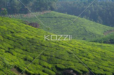 tea fields of kodanad - Wide shot of many tea fields in Kodanad, India with a graveyard in the background.
