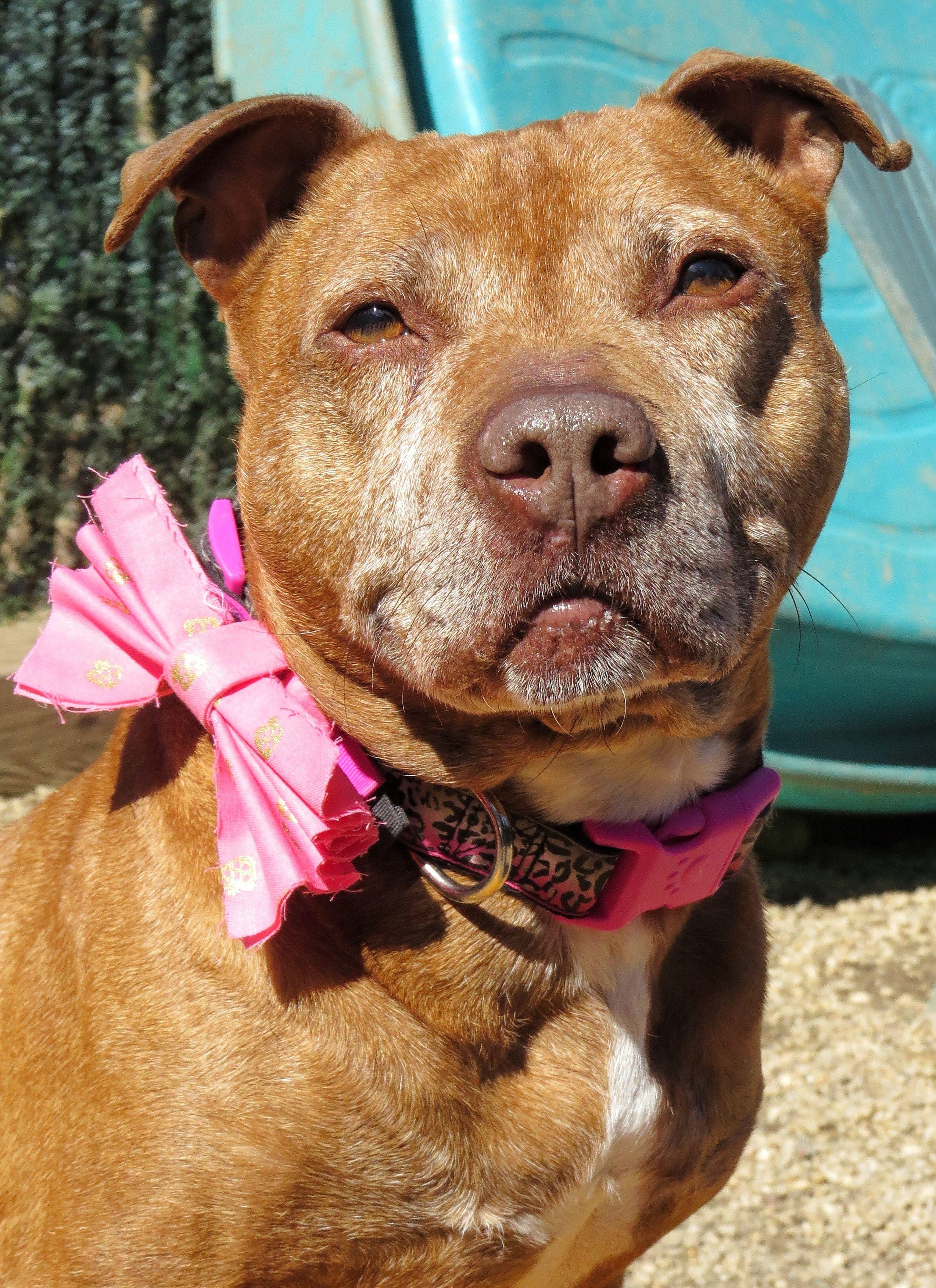 Adopt 17 452 Missy On Animals Animal Shelter Pitbull Terrier