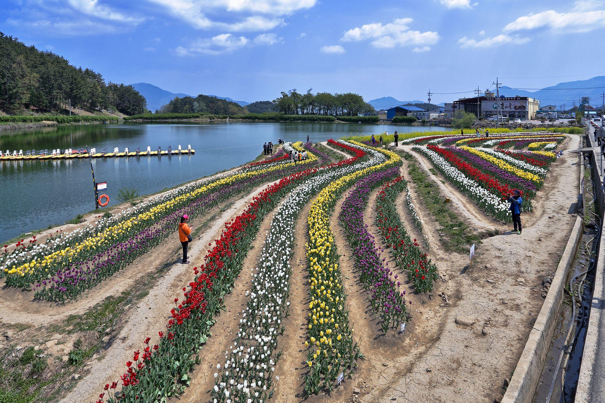 https://flic.kr/p/ecJ8W3 | kIMG_0537 | Tulip Festival ,South Korea (남해 장평저수지)