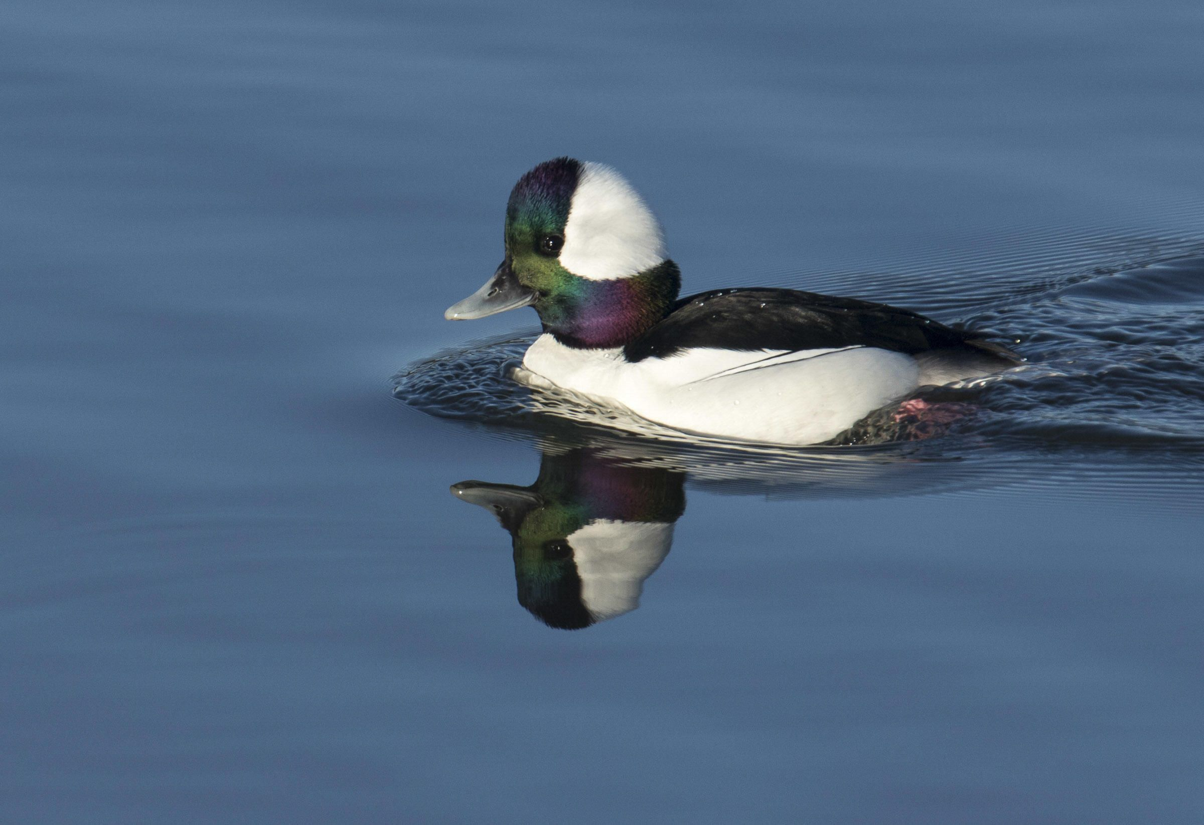 Bufflehead in 2020   Great backyard bird count, Duck ...