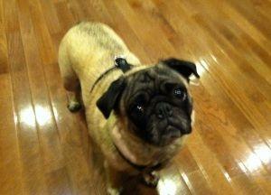 Adopt Ziva Adopted On Pug Rescue Cute Animals Pugs