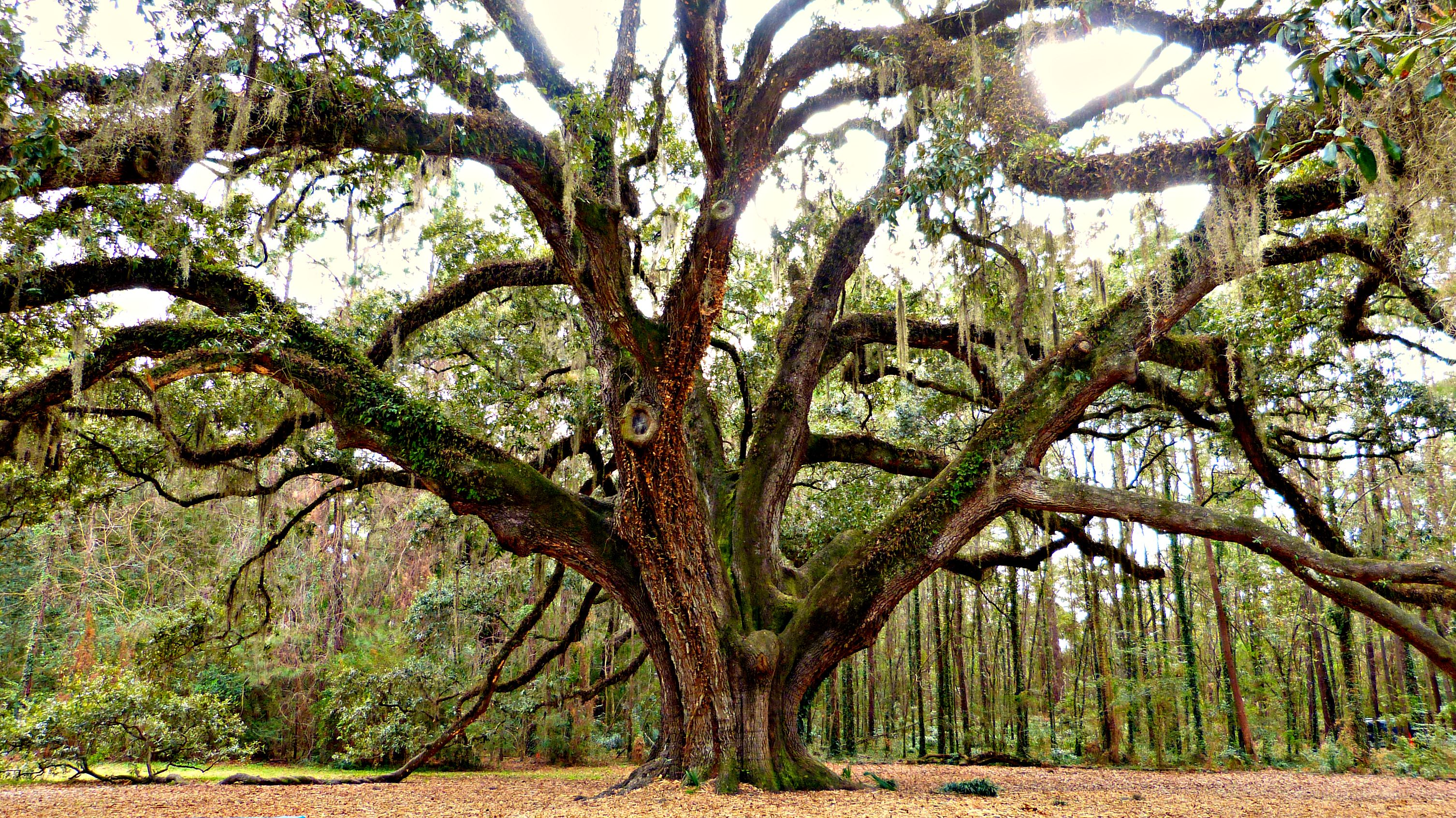 The Lichgate Oak Oak Tree Tree Florida