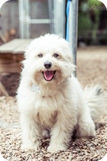 Norwalk Ct Tibetan Terrier Lhasa Apso Mix Meet Landry Meet Him A Dog For Adoption Dog Adoption Tibetan Terrier Terrier