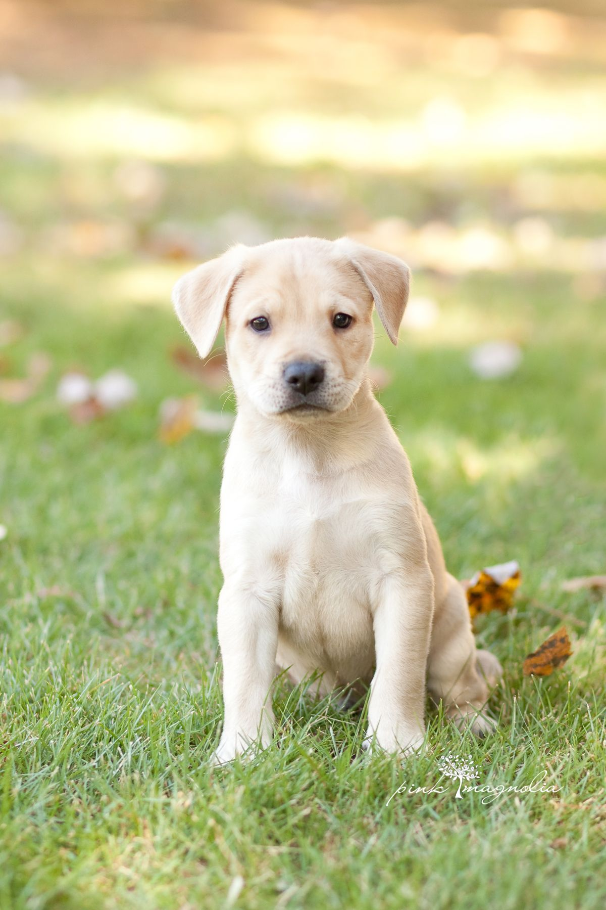 ADOPTED! Masan is an adorable lab mix puppy who is