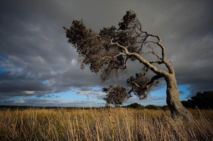 Wind swept, On the Tarkine, Tasmania