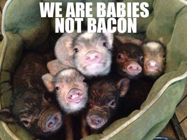 Image result for photo of baby pig I'm a baby not bacon