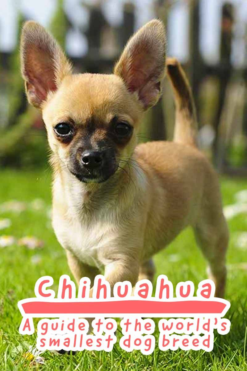 Chihuahua Dog Breed Information A Guide To The World S Smallest