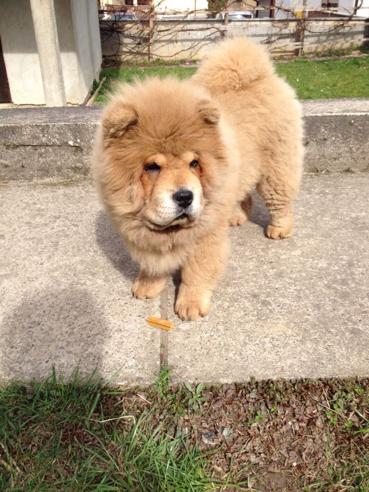 Pin By Vida Katic On Ljubimac Chow Chow Dogs Chow Chow Animals