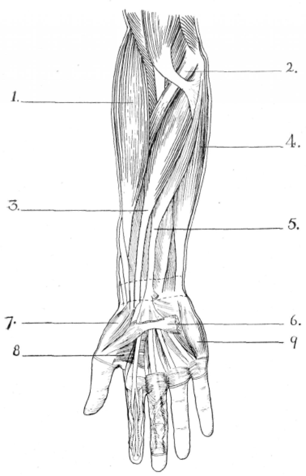 Forearm Muscles | Anatomy/PT/OT | Pinterest | Forearm muscles and ...