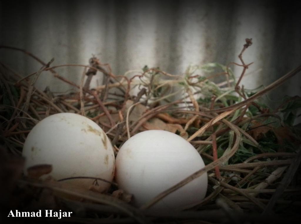 بيض الحمام Eggs Food Breakfast