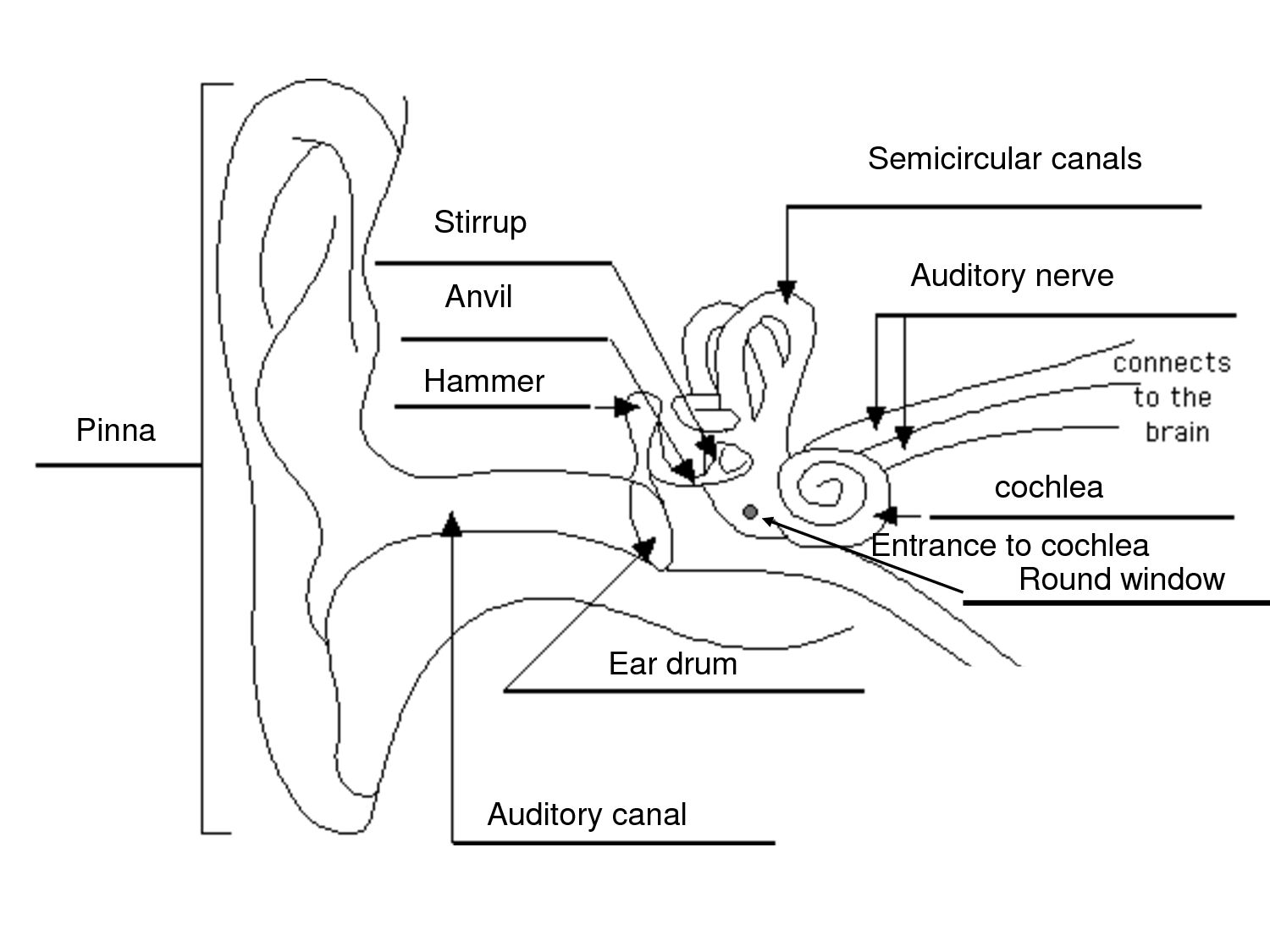 image result for ear structure without label sound topic hairs ear diagram labeled image result for [ 1500 x 1125 Pixel ]